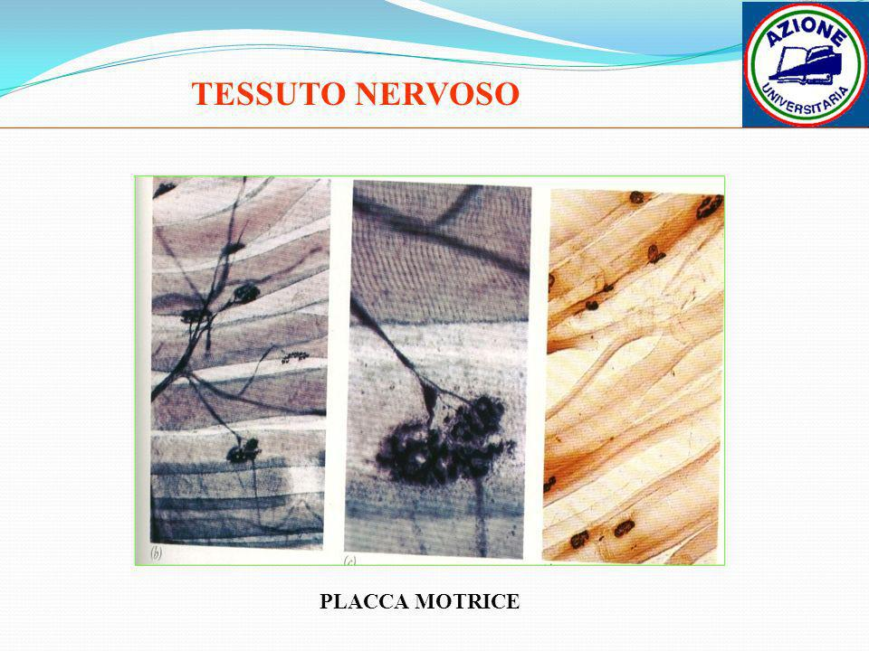 TESSUTO NERVOSO PLACCA MOTRICE