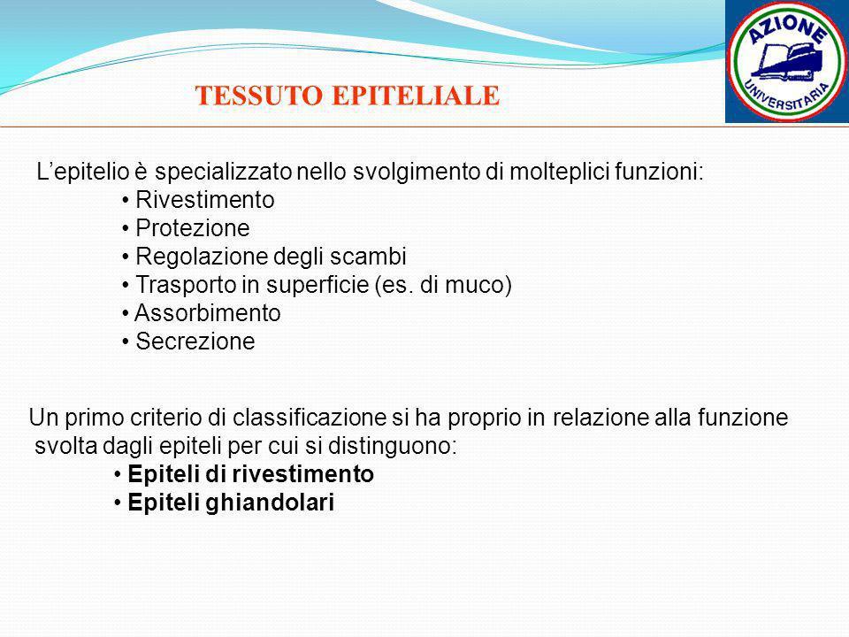 TESSUTO EPITELIALE L'epitelio è specializzato nello svolgimento di molteplici funzioni: Rivestimento.