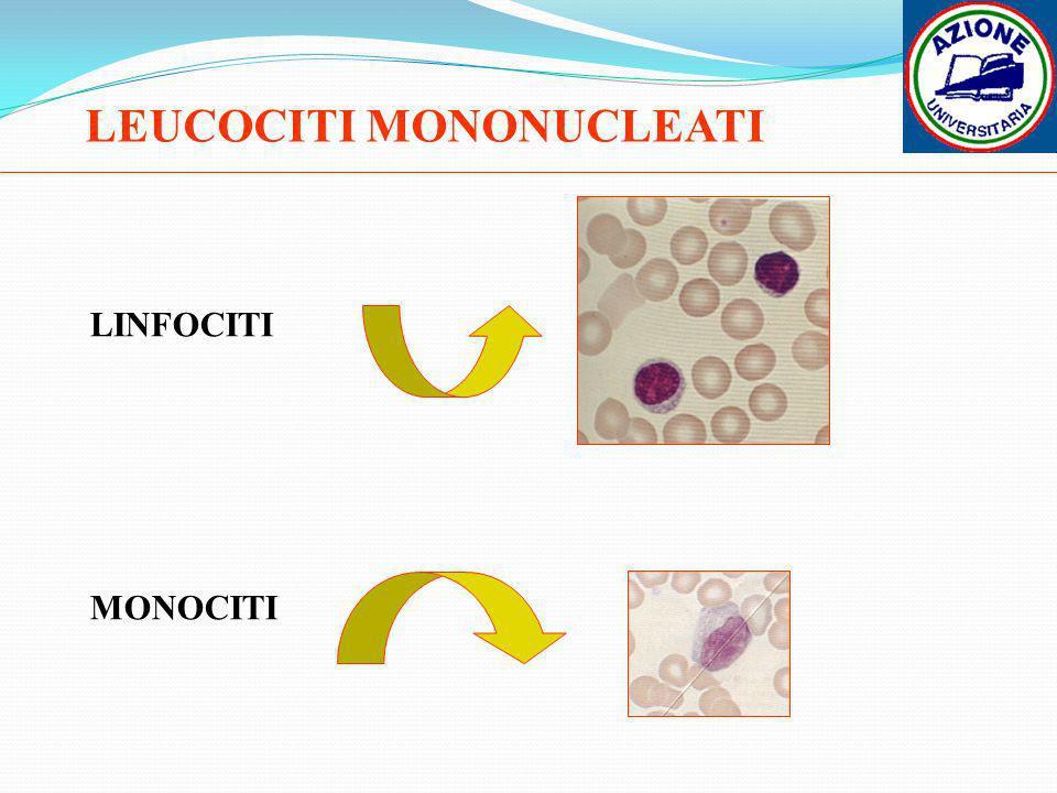 LEUCOCITI MONONUCLEATI