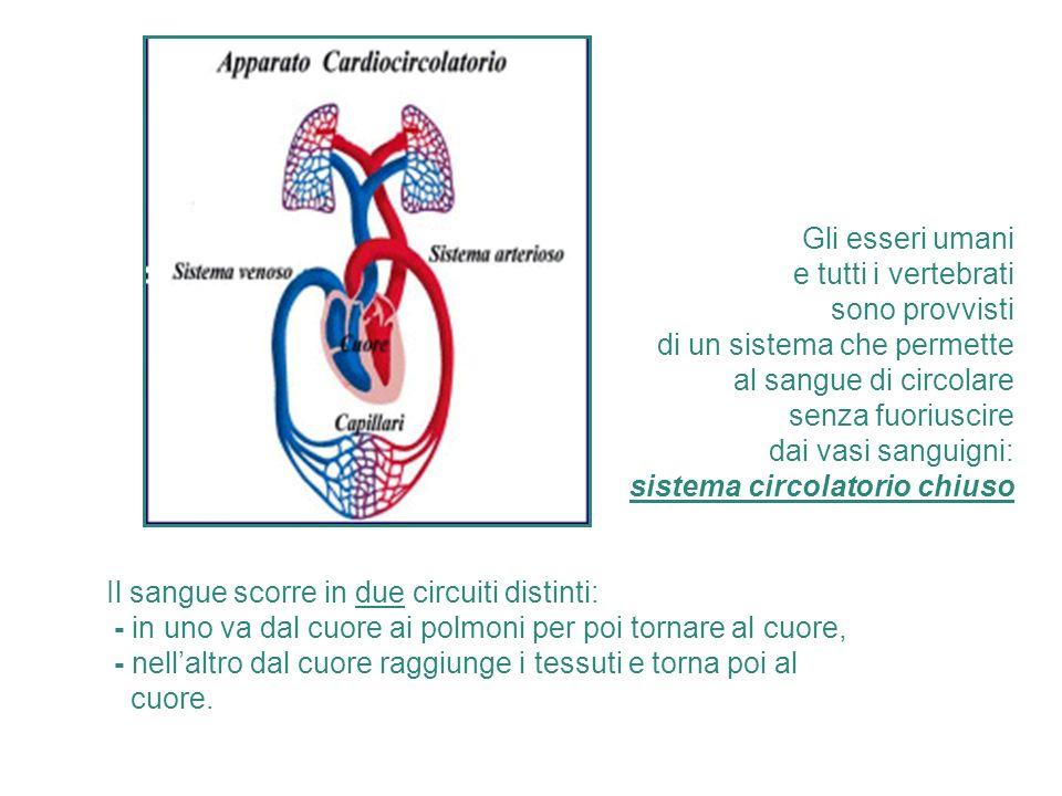 Gli esseri umani e tutti i vertebrati. sono provvisti. di un sistema che permette. al sangue di circolare.