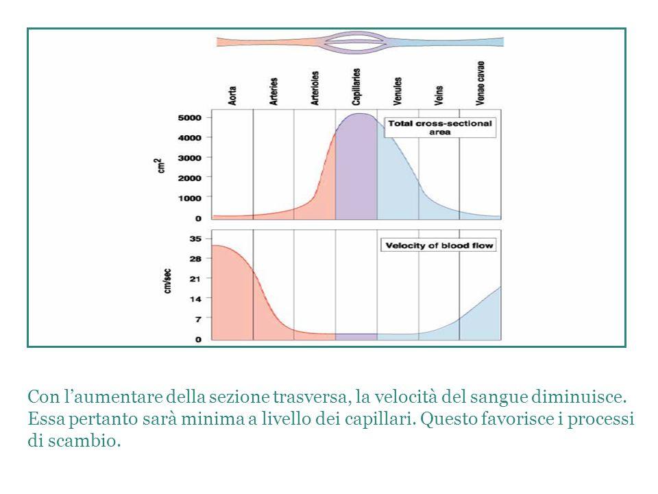 . Con l'aumentare della sezione trasversa, la velocità del sangue diminuisce.