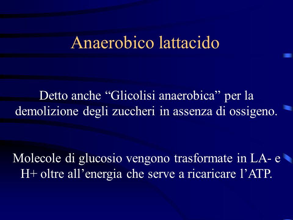 Anaerobico lattacido Detto anche Glicolisi anaerobica per la demolizione degli zuccheri in assenza di ossigeno.