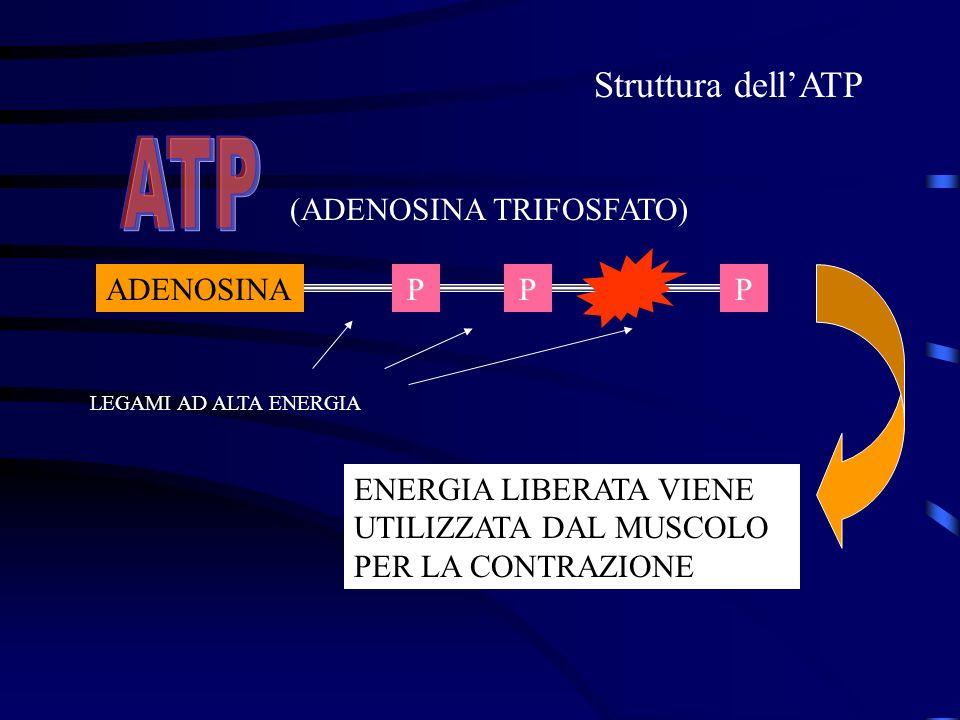 ATP Struttura dell'ATP (ADENOSINA TRIFOSFATO) ADENOSINA P P P