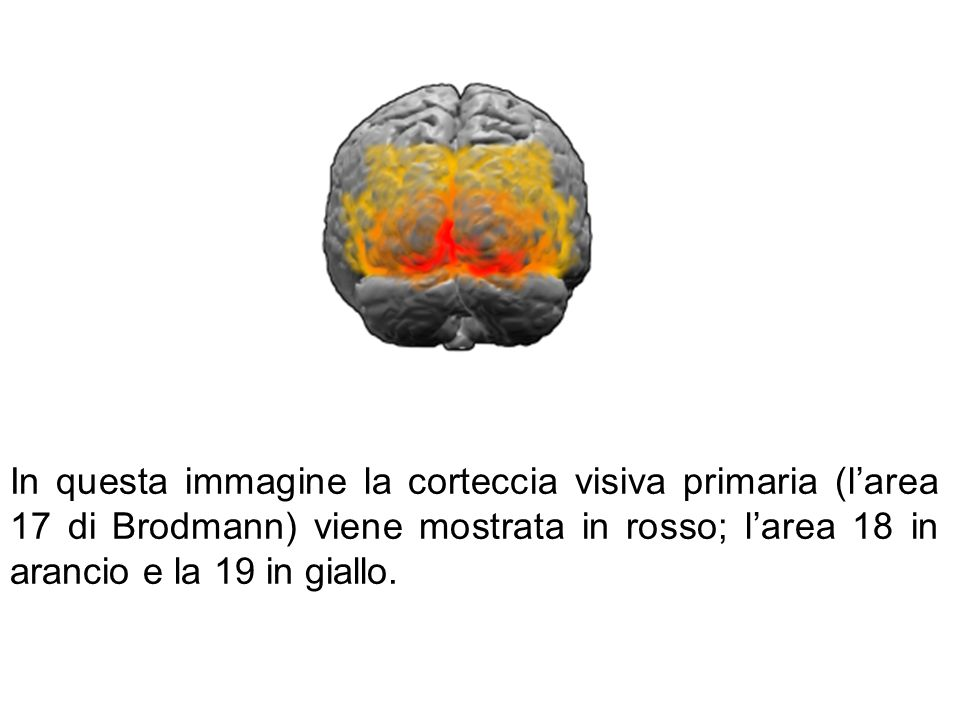 In questa immagine la corteccia visiva primaria (l'area 17 di Brodmann) viene mostrata in rosso; l'area 18 in arancio e la 19 in giallo.