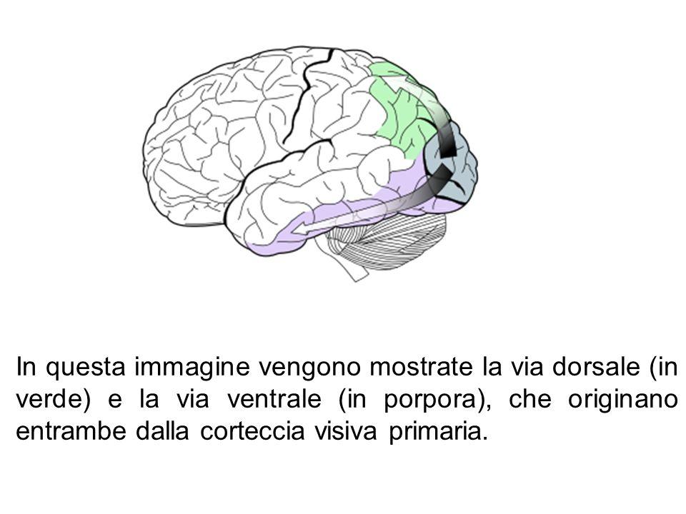 In questa immagine vengono mostrate la via dorsale (in verde) e la via ventrale (in porpora), che originano entrambe dalla corteccia visiva primaria.