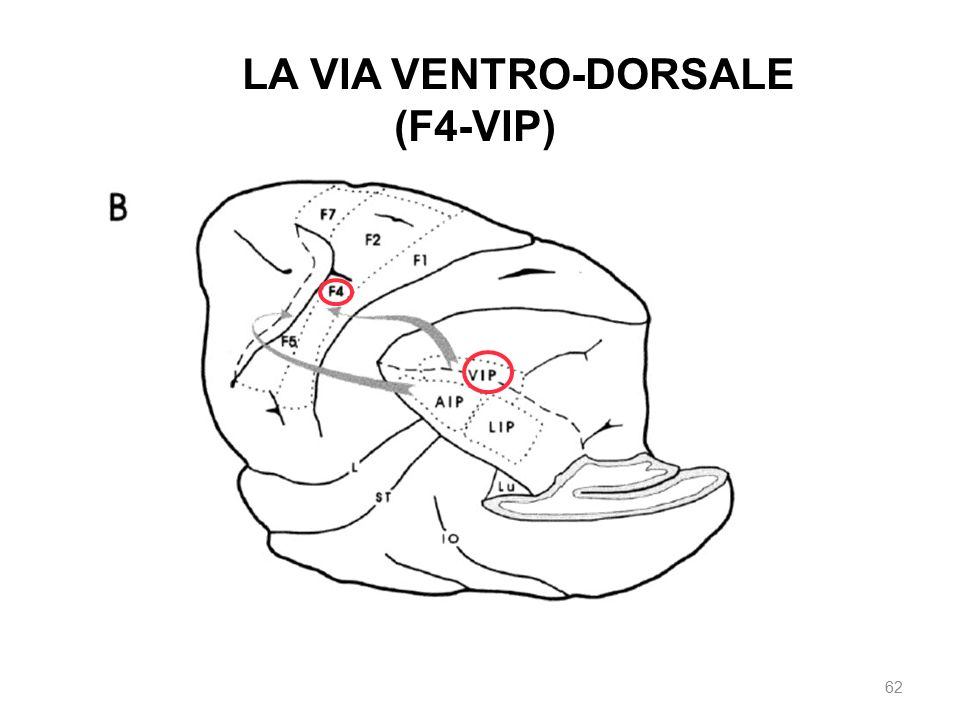 The LA VIA VENTRO-DORSALE