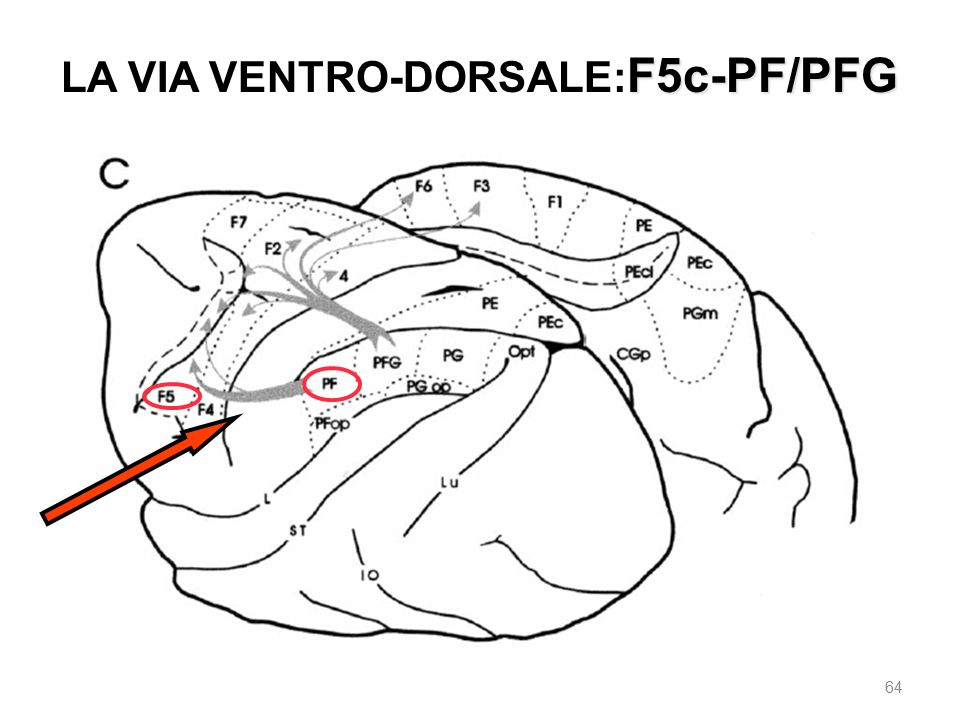 LA VIA VENTRO-DORSALE:F5c-PF/PFG