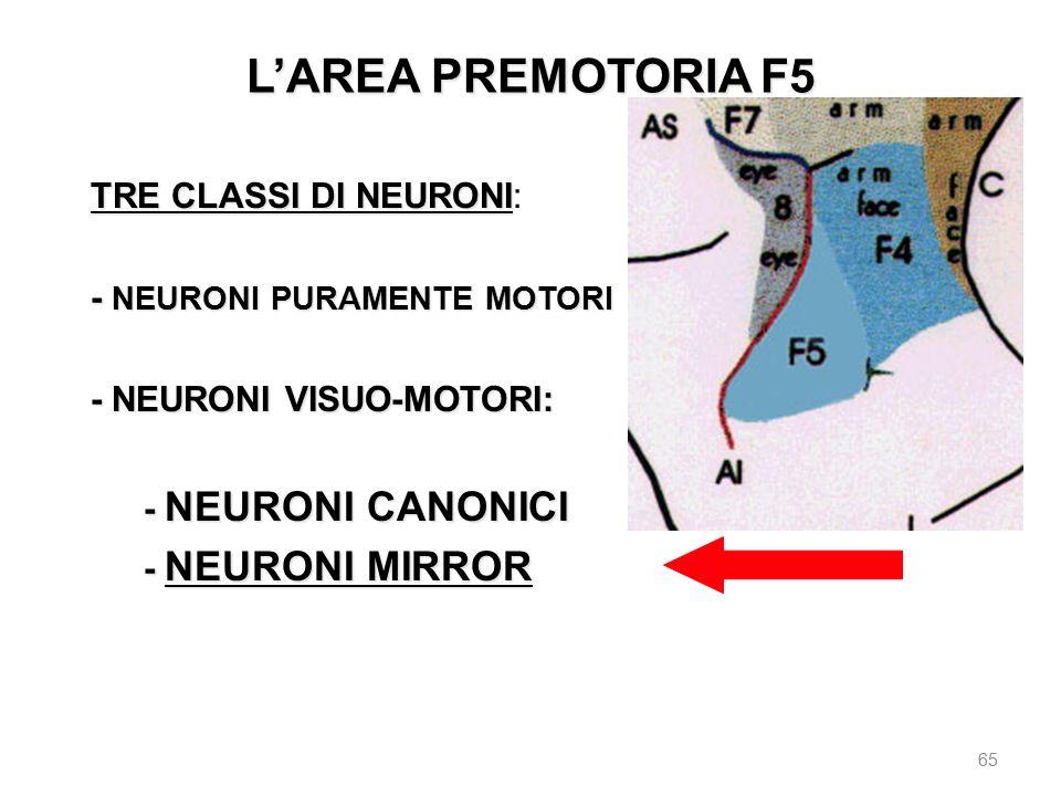 L'AREA PREMOTORIA F5 TRE CLASSI DI NEURONI: - NEURONI PURAMENTE MOTORI