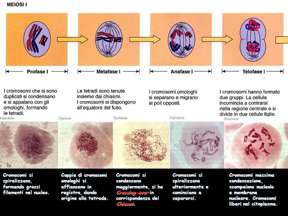 Cromosomi si spiralizzano, formando grossi filamenti nel nucleo.