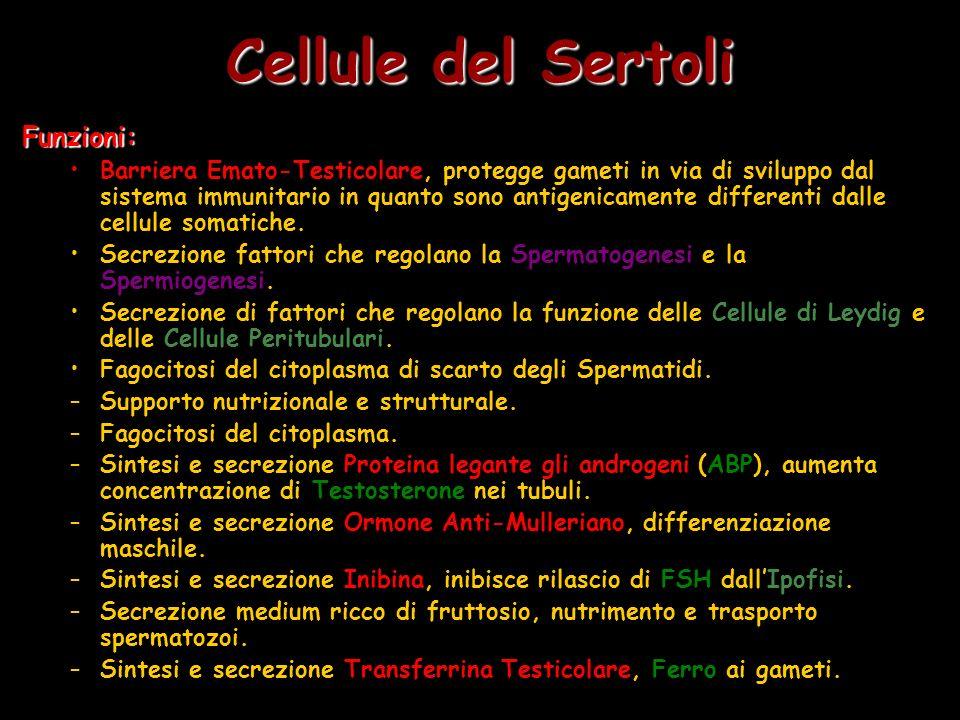 Cellule del Sertoli Funzioni: