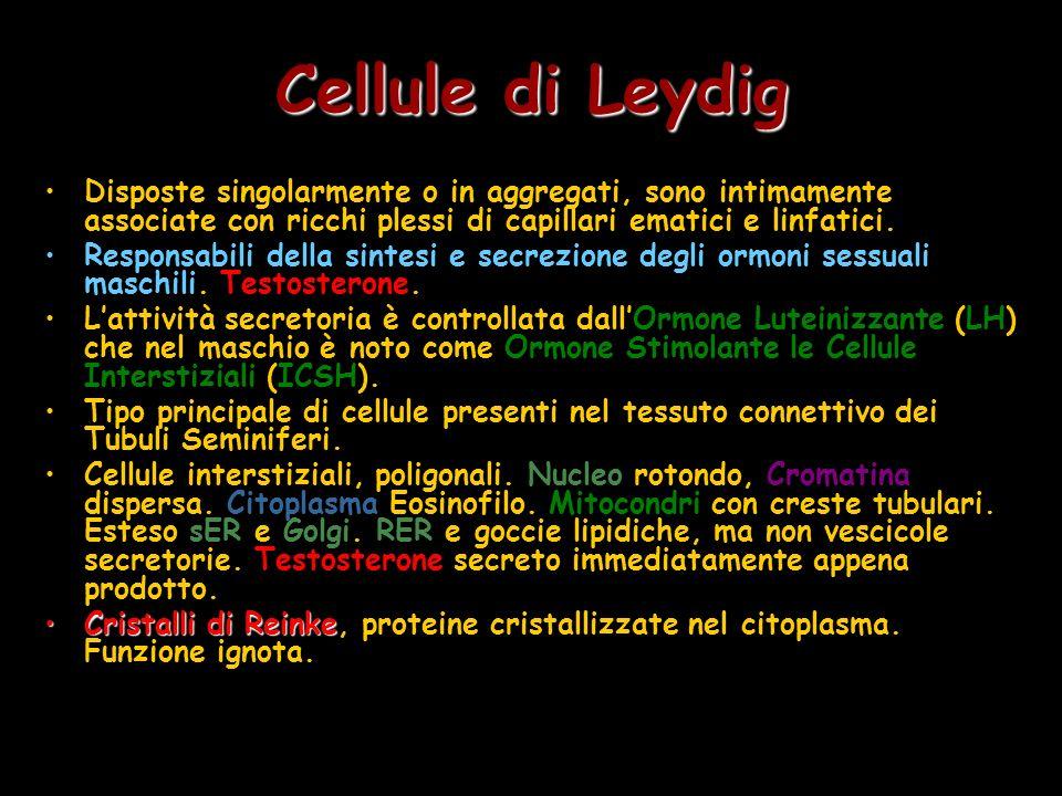 Cellule di Leydig Disposte singolarmente o in aggregati, sono intimamente associate con ricchi plessi di capillari ematici e linfatici.