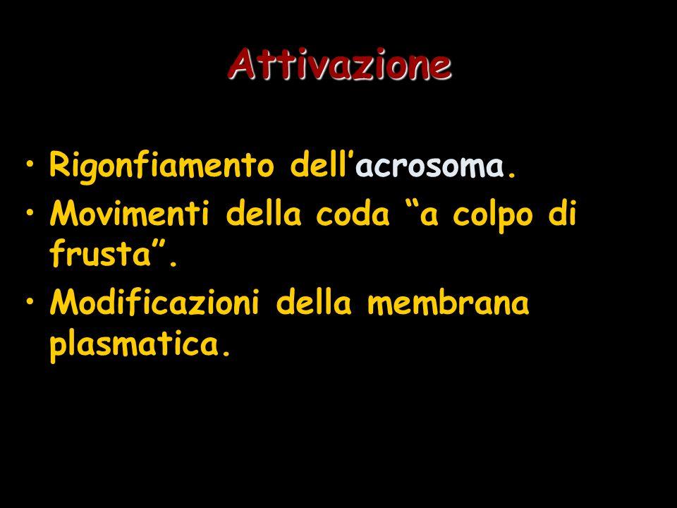Attivazione Rigonfiamento dell'acrosoma.