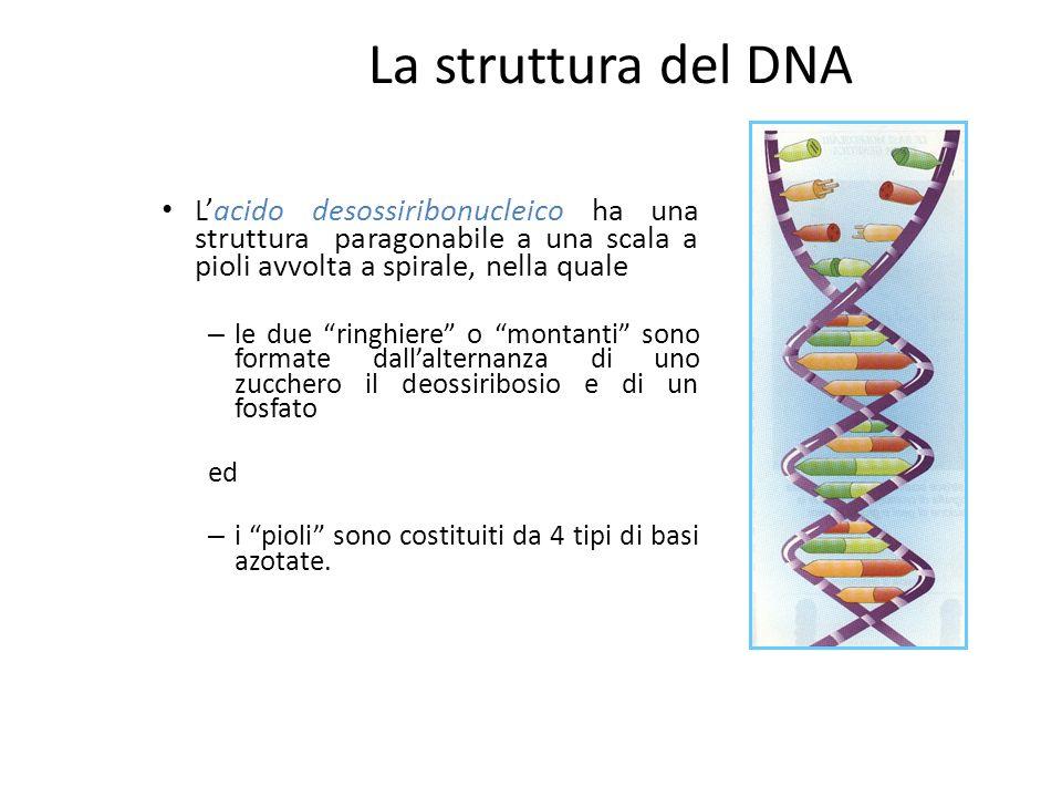 La struttura del DNA L'acido desossiribonucleico ha una struttura paragonabile a una scala a pioli avvolta a spirale, nella quale.