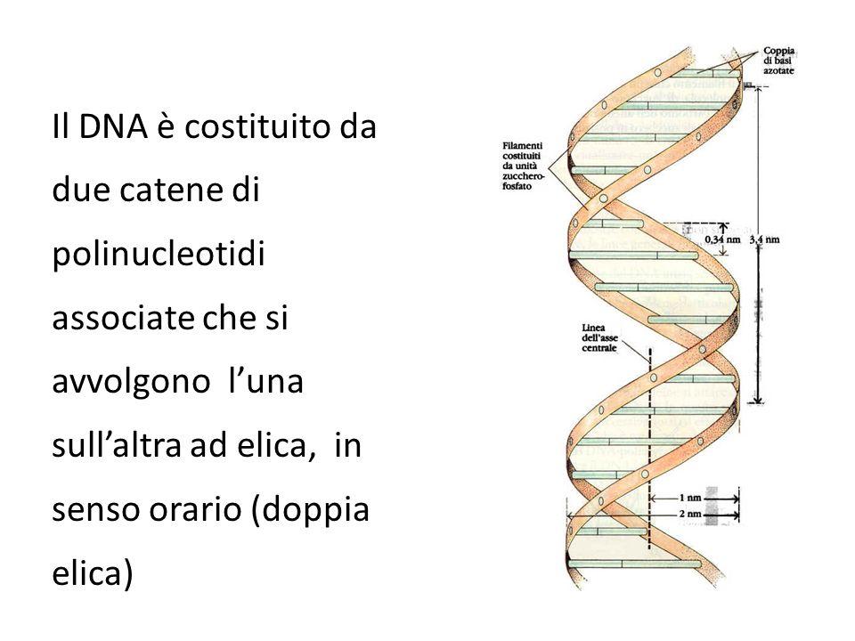 Il DNA è costituito da due catene di polinucleotidi associate che si avvolgono l'una sull'altra ad elica, in senso orario (doppia elica)