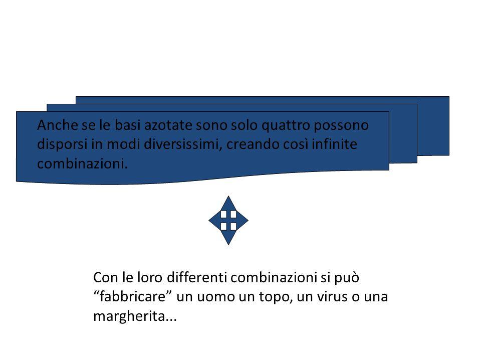Anche se le basi azotate sono solo quattro possono disporsi in modi diversissimi, creando così infinite combinazioni.
