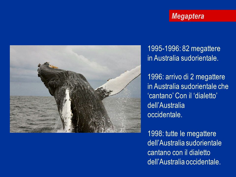 Megaptera 1995-1996: 82 megattere. in Australia sudorientale. 1996: arrivo di 2 megattere. in Australia sudorientale che.