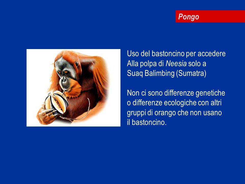 Pongo Uso del bastoncino per accedere. Alla polpa di Neesia solo a. Suaq Balimbing (Sumatra) Non ci sono differenze genetiche.