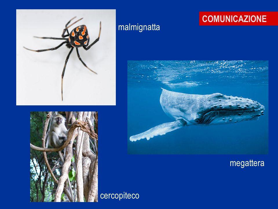 COMUNICAZIONE malmignatta megattera cercopiteco