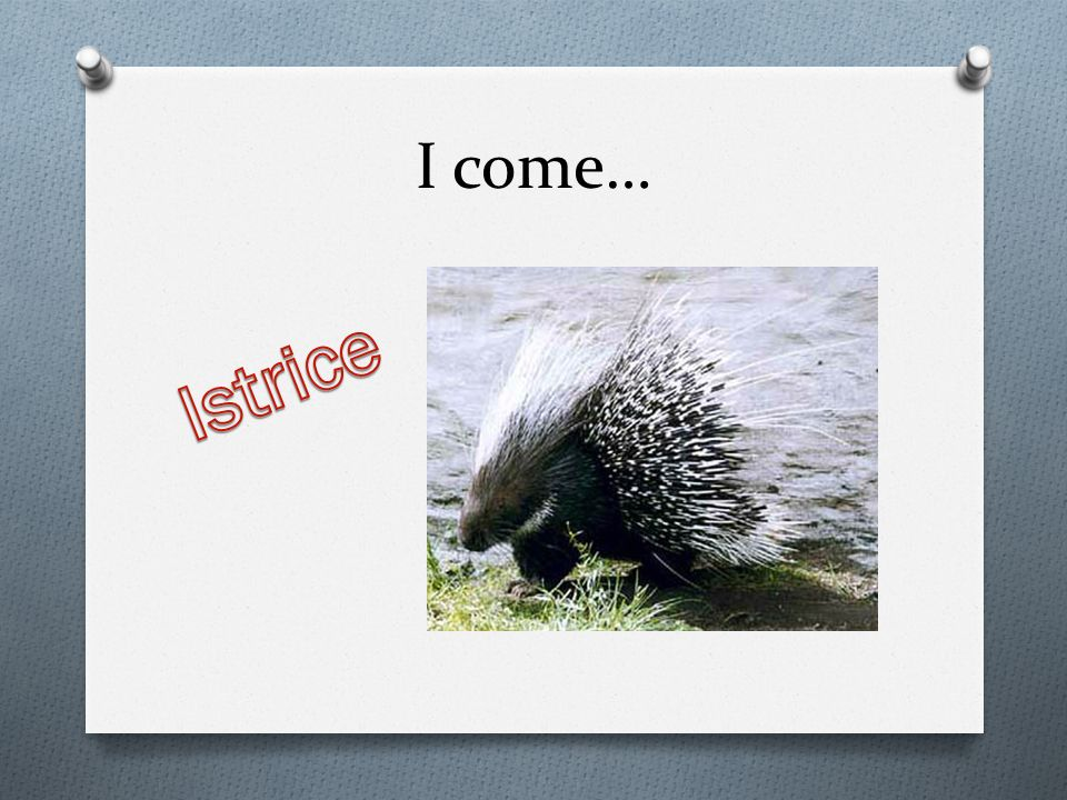 I come… Istrice