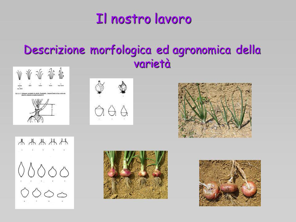 Descrizione morfologica ed agronomica della varietà