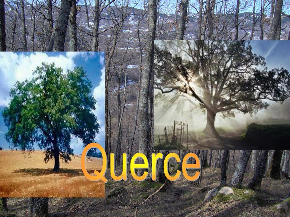 Querce