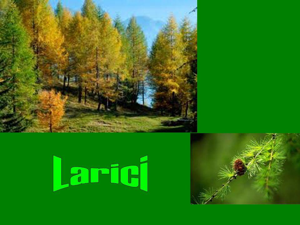 Larici