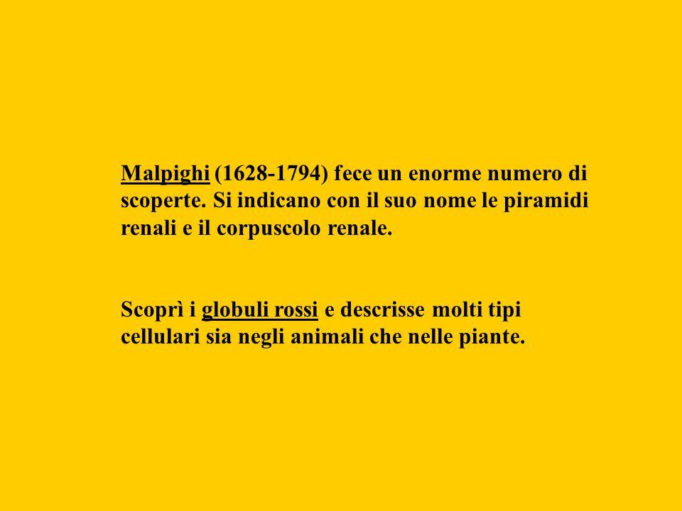 Malpighi (1628-1794) fece un enorme numero di scoperte