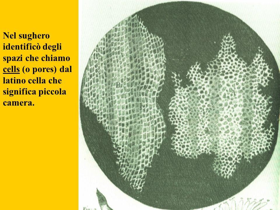 Nel sughero identificò degli spazi che chiamo cells (o pores) dal latino cella che significa piccola camera.