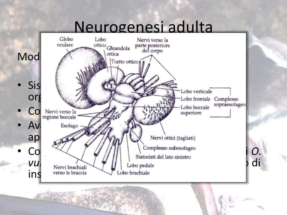 Neurogenesi adulta Modello di studio: Octopus vulgaris