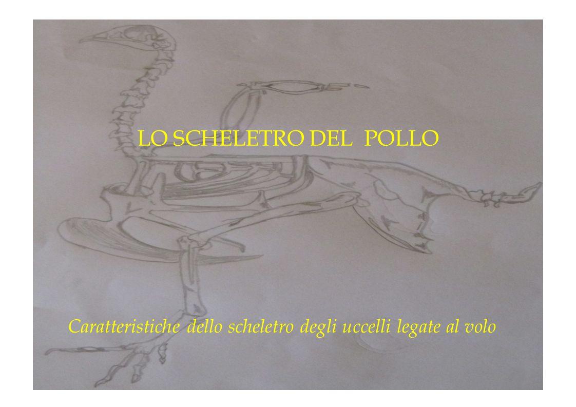 Caratteristiche dello scheletro degli uccelli legate al volo