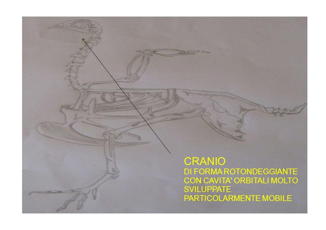 CRANIO DI FORMA ROTONDEGGIANTE CON CAVITA ORBITALI MOLTO SVILUPPATE