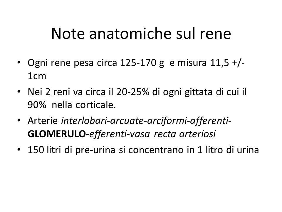 Note anatomiche sul rene