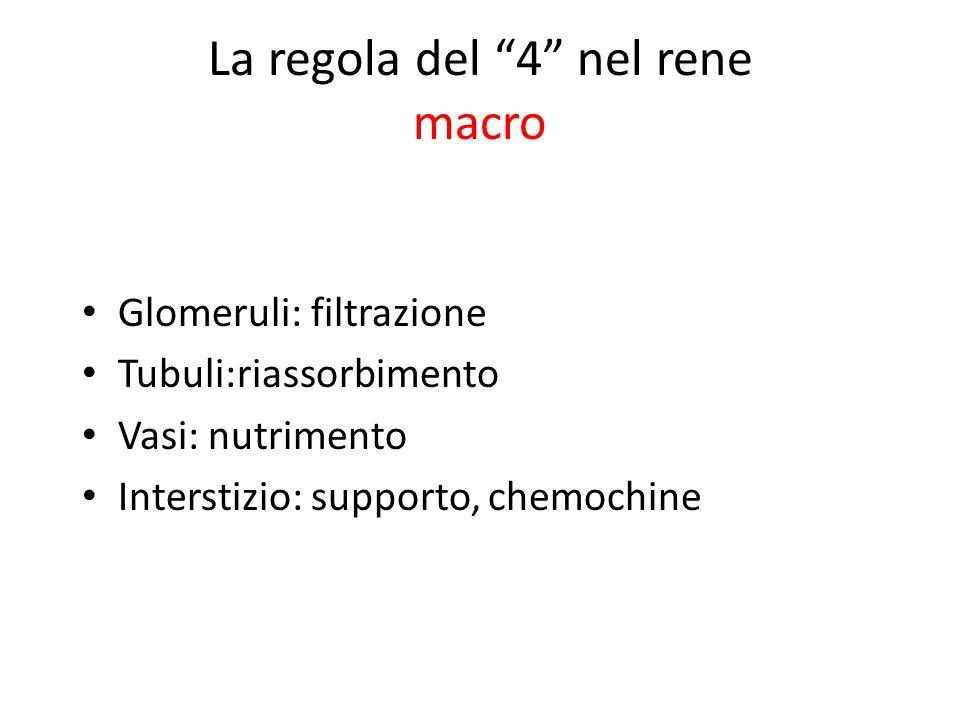 La regola del 4 nel rene macro