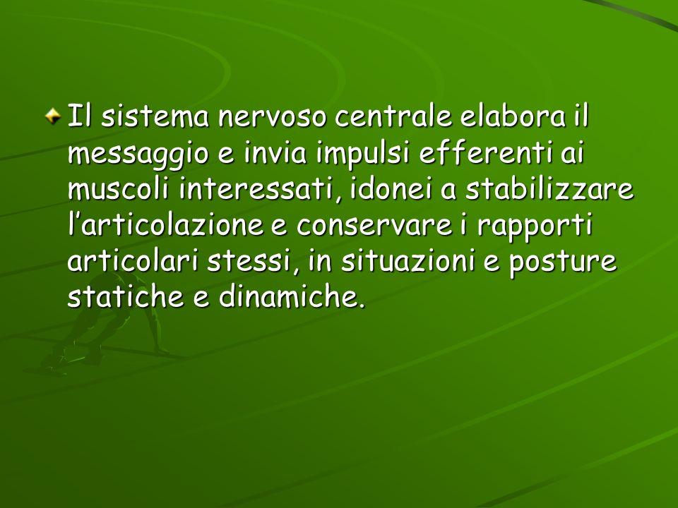 Il sistema nervoso centrale elabora il messaggio e invia impulsi efferenti ai muscoli interessati, idonei a stabilizzare l'articolazione e conservare i rapporti articolari stessi, in situazioni e posture statiche e dinamiche.
