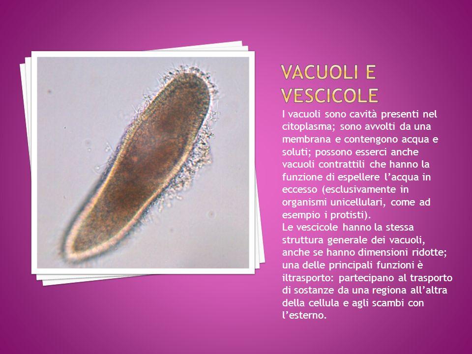 VACUOLI E VESCICOLE