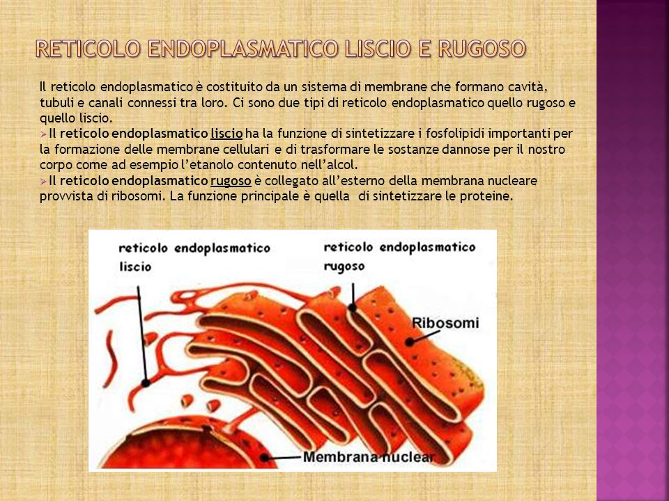 Reticolo endoplasmatico liscio e rugoso