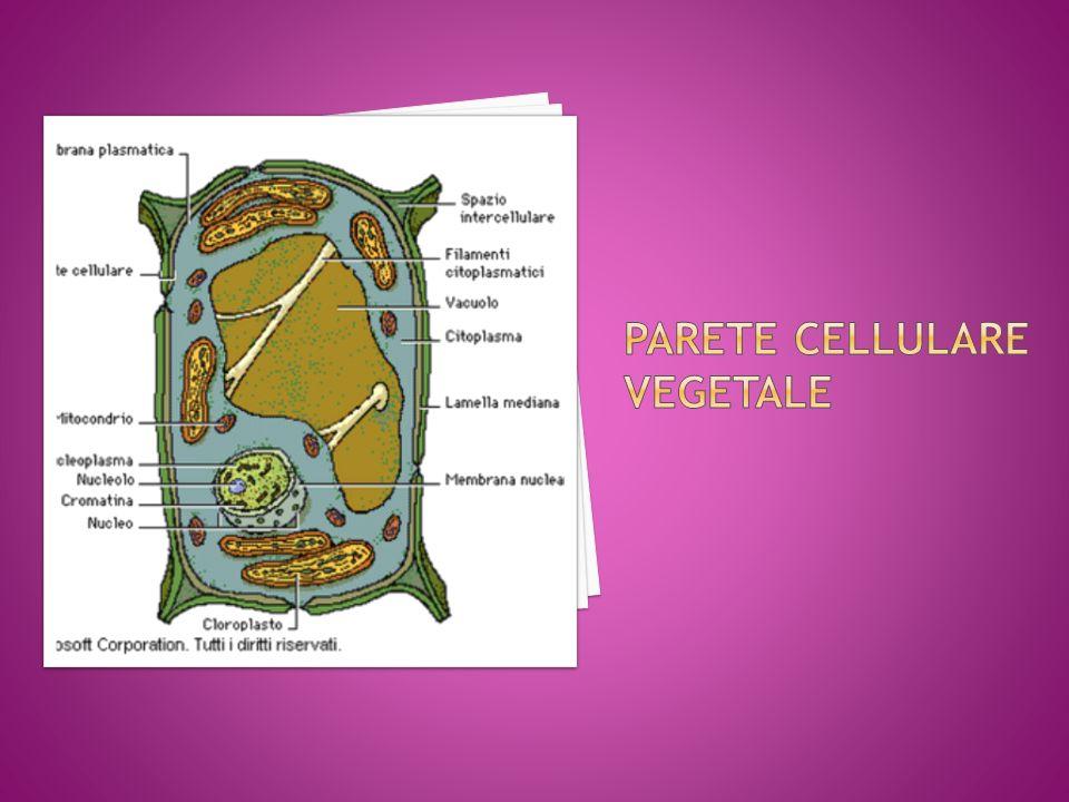 Parete cellulare vegetale