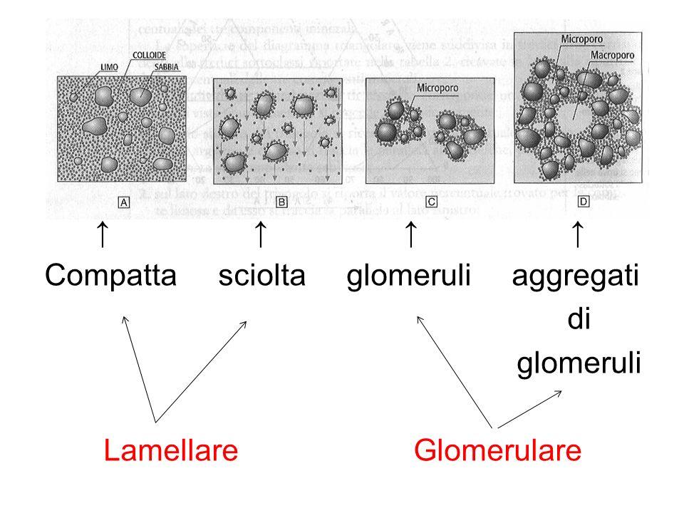 ↑ ↑ ↑ ↑ Compatta sciolta glomeruli aggregati.