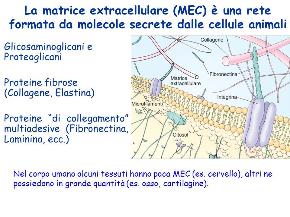 La matrice extracellulare ppt scaricare for Una decorazione e formata da cinque rombi simili