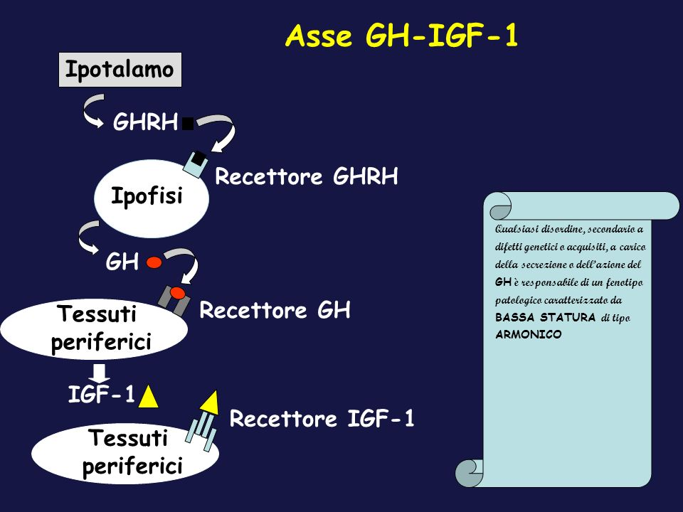 Asse GH-IGF-1 Ipotalamo GHRH Recettore GHRH Ipofisi GH Recettore GH