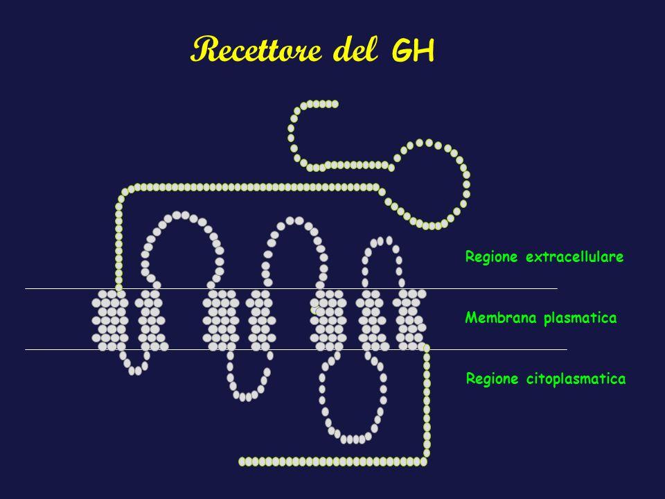 Regione extracellulare Regione citoplasmatica