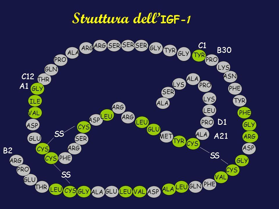 Struttura dell'IGF-1 C1 B30 C12 A1 D1 S S A21 B2 S S S S ARG SER SER