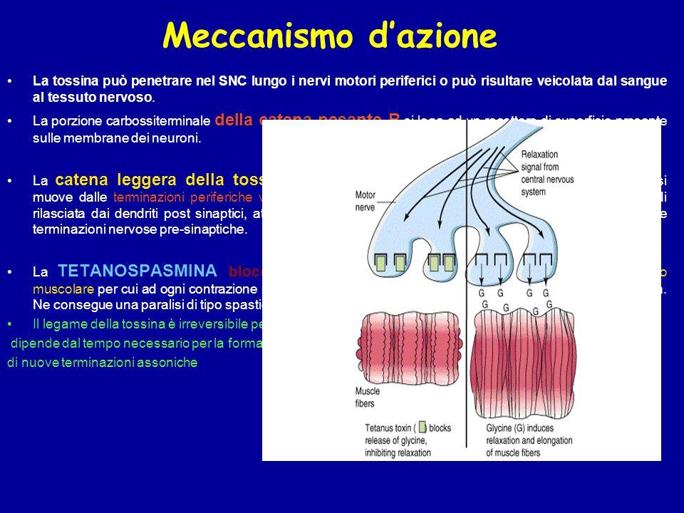 Meccanismo d'azione La tossina può penetrare nel SNC lungo i nervi motori periferici o può risultare veicolata dal sangue al tessuto nervoso.