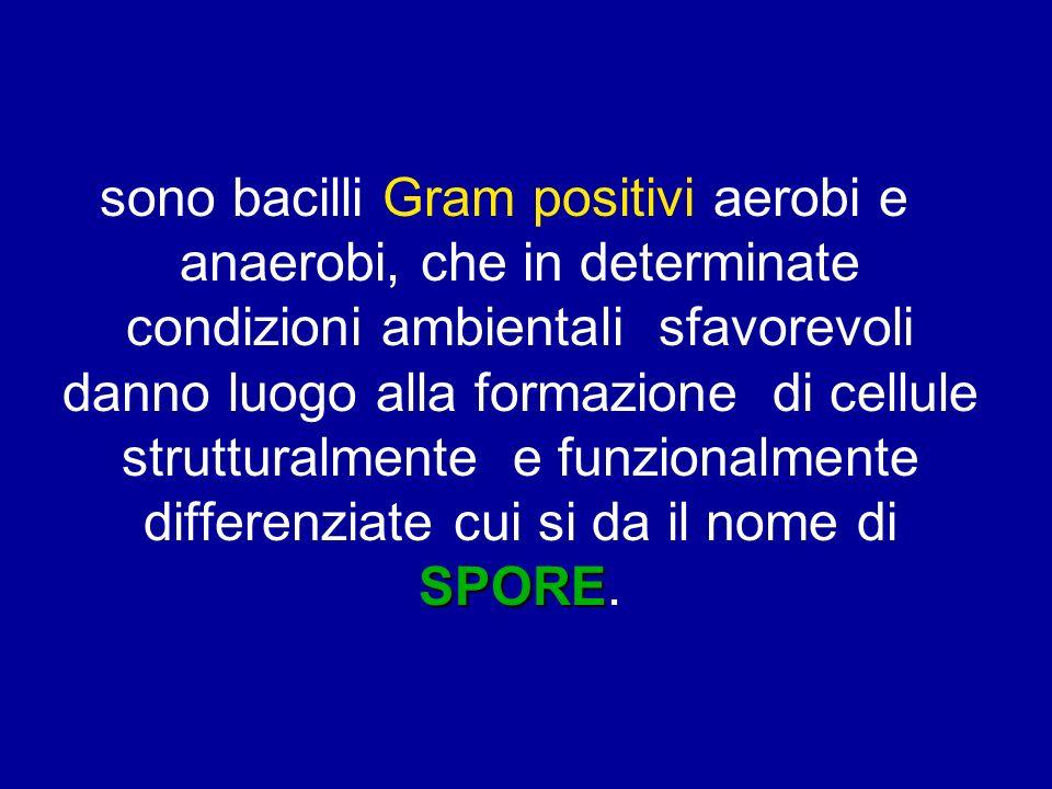 sono bacilli Gram positivi aerobi e anaerobi, che in determinate condizioni ambientali sfavorevoli danno luogo alla formazione di cellule strutturalmente e funzionalmente differenziate cui si da il nome di SPORE.