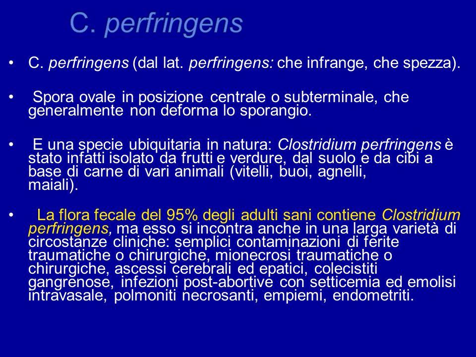 C. perfringens C. perfringens (dal lat. perfringens: che infrange, che spezza).