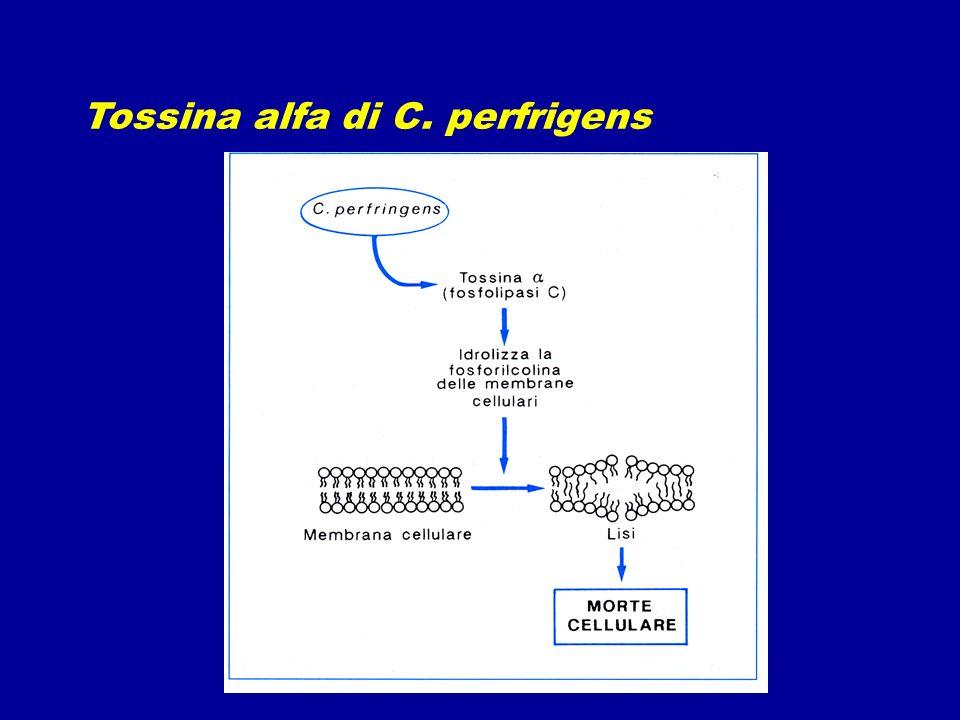 Tossina alfa di C. perfrigens