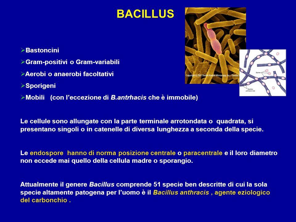BACILLUS Bastoncini Gram-positivi o Gram-variabili