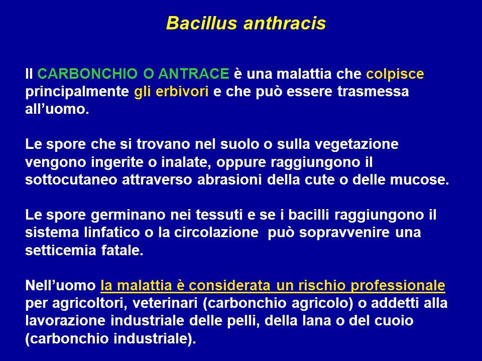 Bacillus anthracis Il CARBONCHIO O ANTRACE è una malattia che colpisce principalmente gli erbivori e che può essere trasmessa all'uomo.