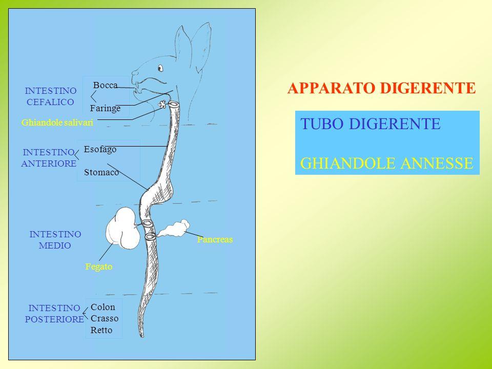 APPARATO DIGERENTE TUBO DIGERENTE GHIANDOLE ANNESSE Bocca Faringe