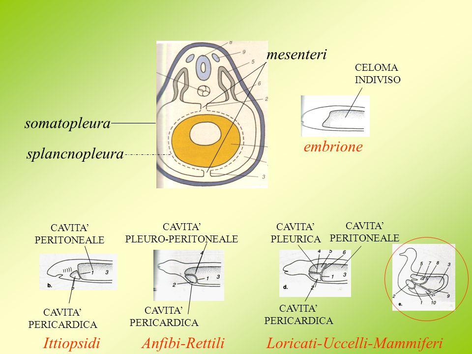 Loricati-Uccelli-Mammiferi